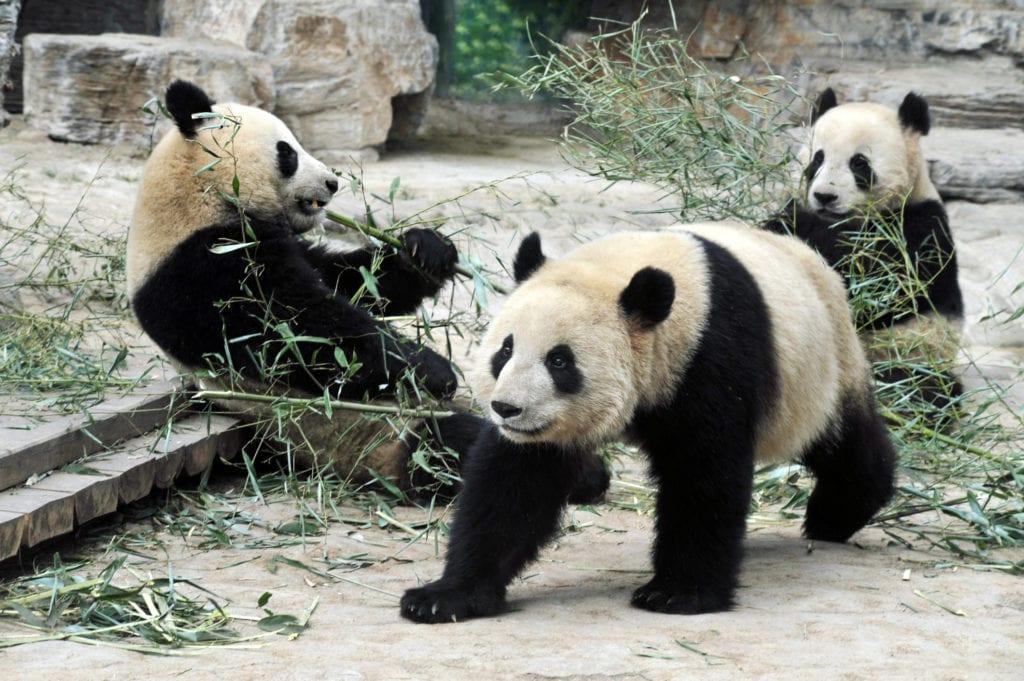 Jedną z głównych atrakcji w ZOO są pandy Pekin