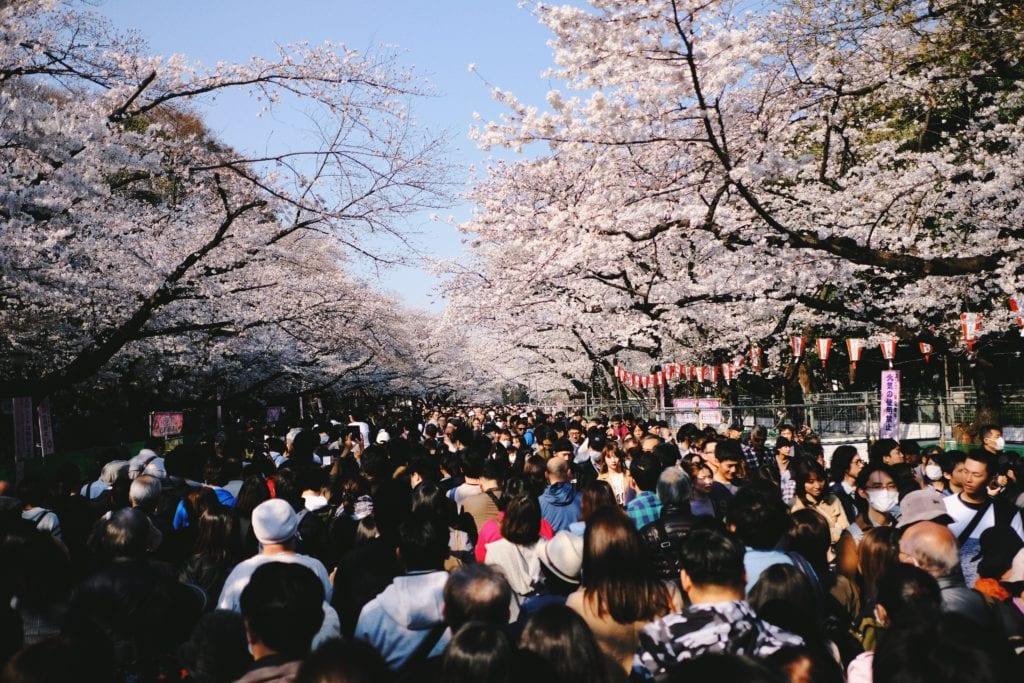 Kwitnięcie wiśni w parku Ueno, Tokio