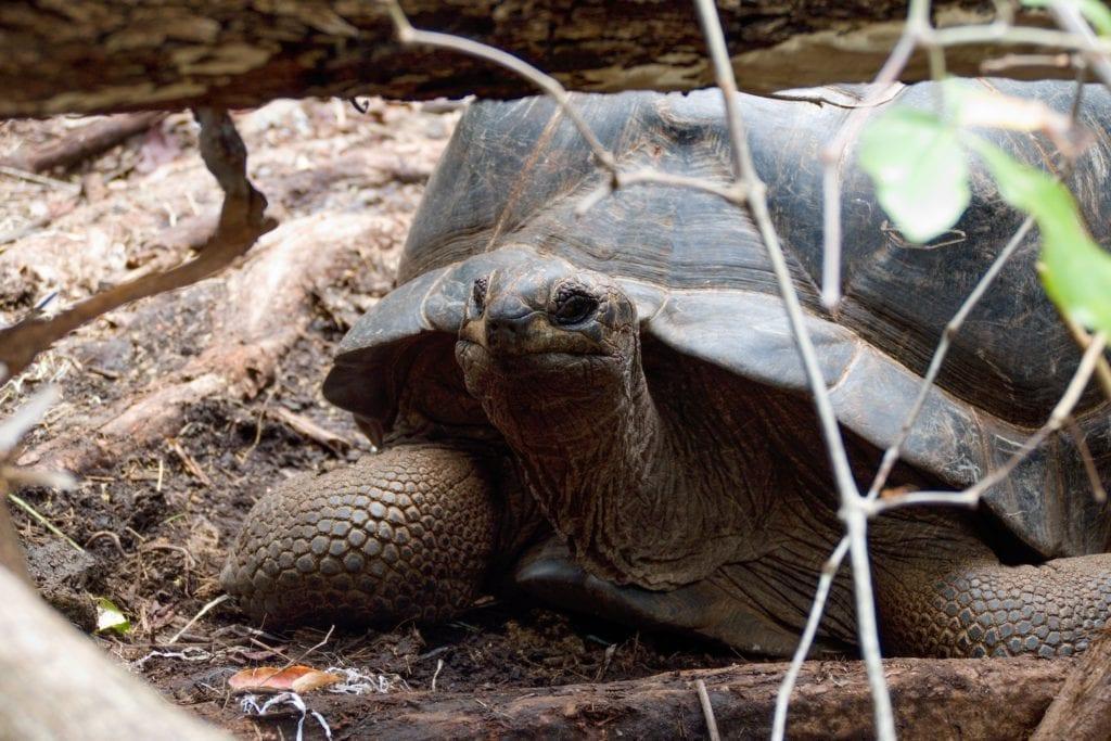 Żółwie ogromne żyjące na Wyspie Skazańców, Zanziba