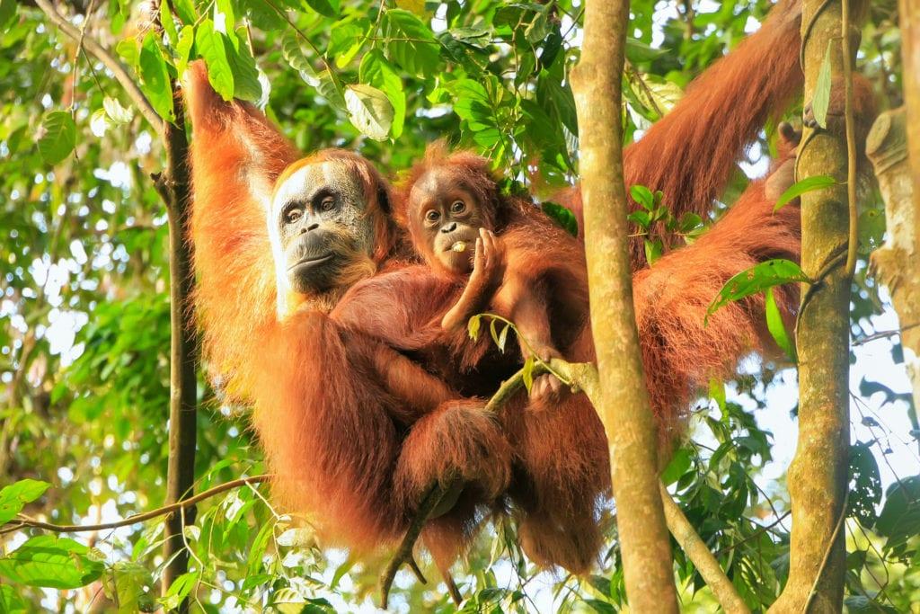 Orangutany w Parku Narodowym Gunung Leuser, Sumatra, Indonezja