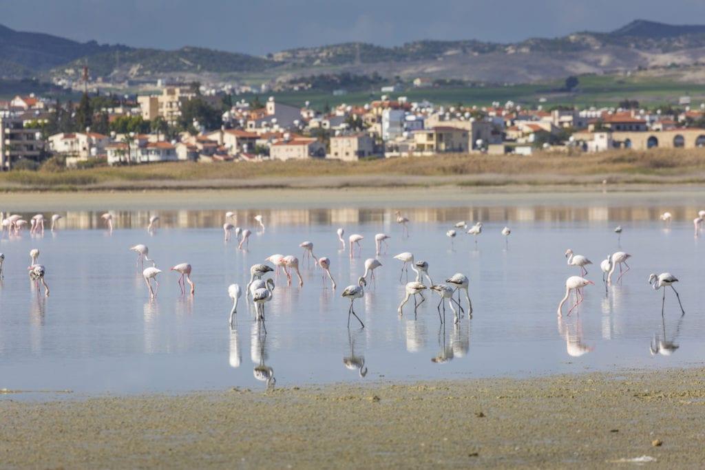 Flamingi można spotkać w słonym jeziorze w Larnace, Cypr