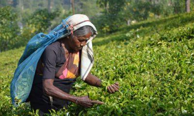 Kobieta zbierająca liście herbaty na Sri Lance,