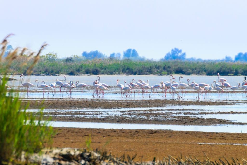 Różowe flamingi w delcie rzeki Po, niedaleko Wenecji