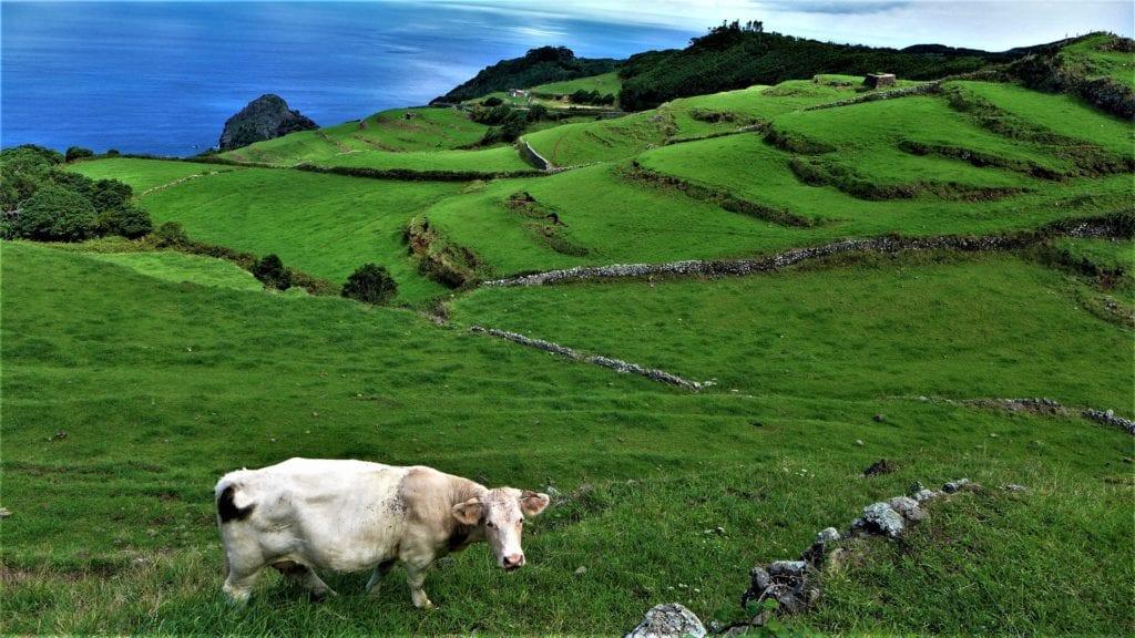 Na Azorach można spotkać setki krów,