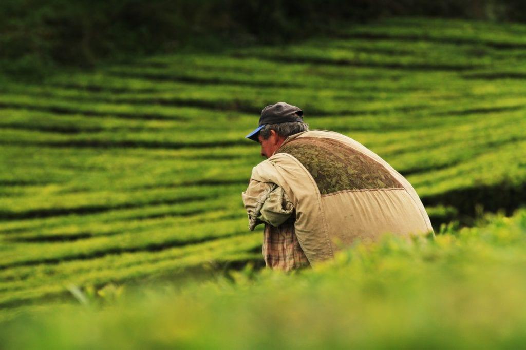 Plantacja herbaty na Azorach,