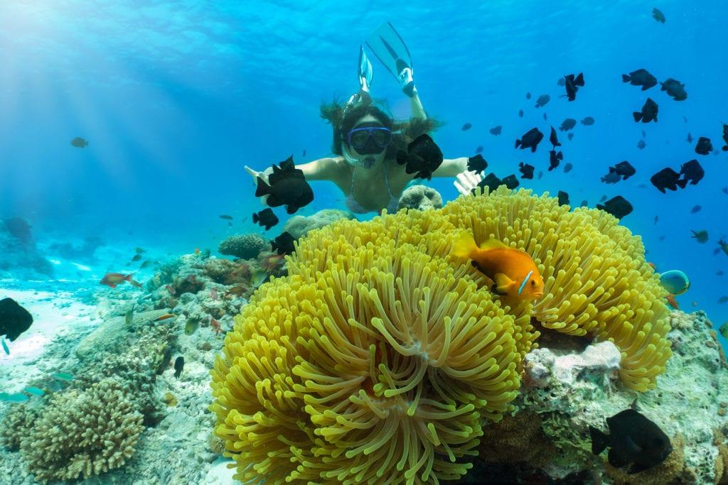 """Podczas nurkowania na Malediwach można spotkać """"rybki Nemo"""", czyli amfipriony plamiste,"""