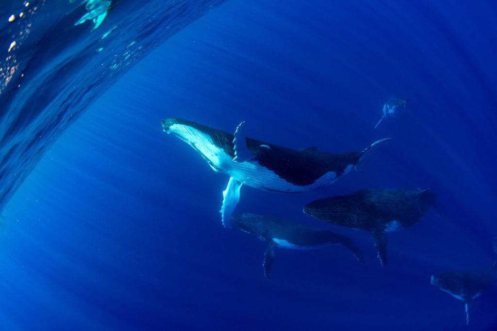 W wodach w okolicach Polinezji Francuskiej można zobaczyć humbaka,