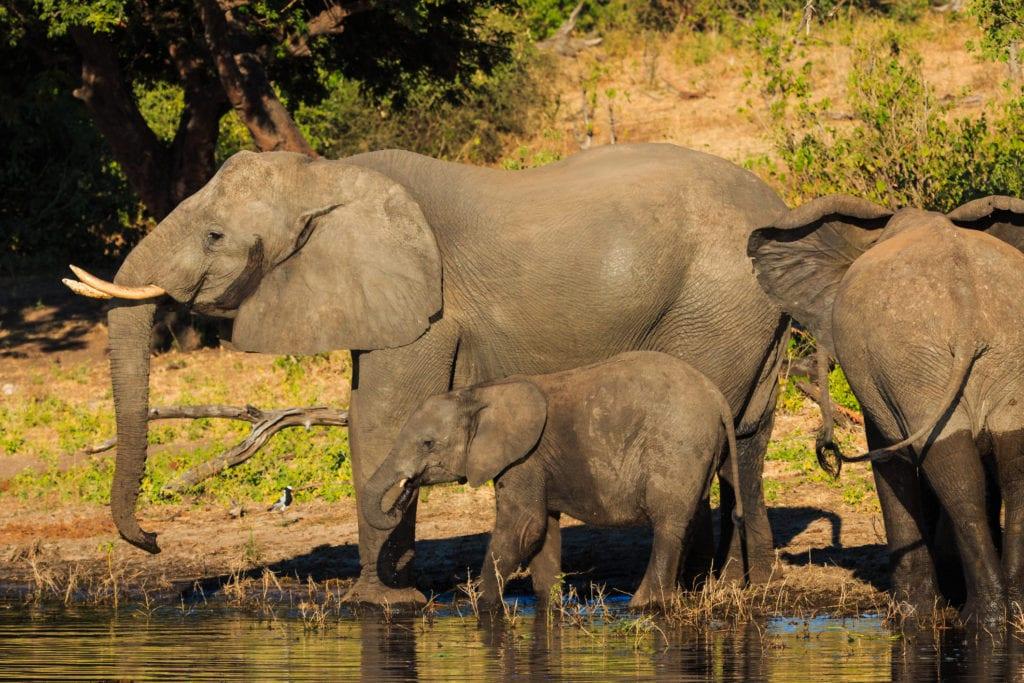 W Botswanie żyje obecnie około 130 tysięcy słoni,