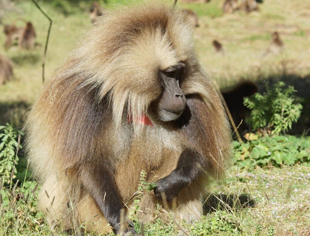 W parku Semien można spotlać małpy dżelada brunatna, Etiopia