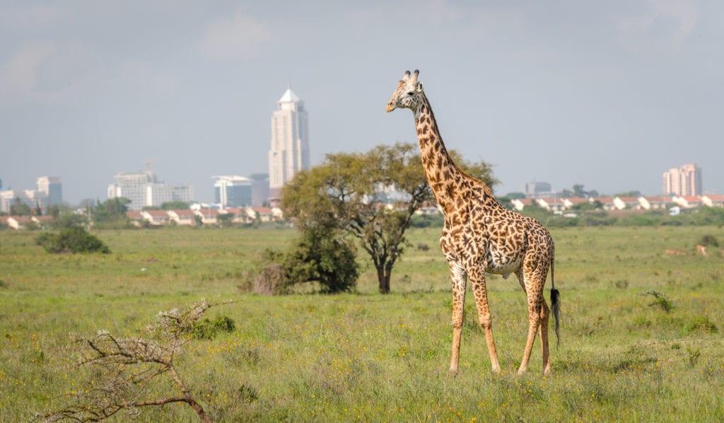 Żyrafa w Parku Narodowym Nairobi, w tle stolica Kenii - Nairobii,