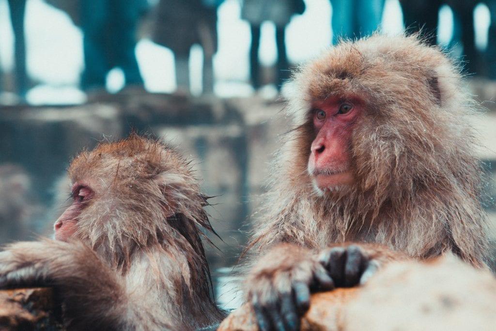 Kapiące się w gorących źrółach makaki japońskie są jedną z atrakcji turystycznych regionu,  Nagano