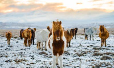 Konie islandzkie, Islandia