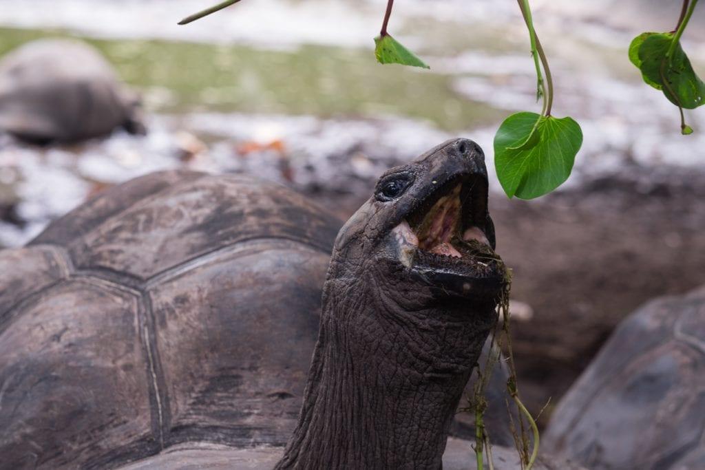 Żółwie spotkasz na wyspie La Digue, Seszele