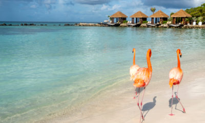Flamingi na Renaissance, Aruba, fot. Chiyacat Shutterstock
