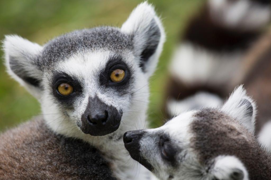 Lemury żyjące na Madagaskarze