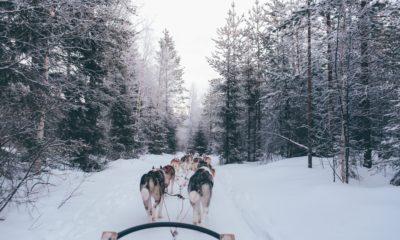 Psi zaprzęg w Rovaniemi Finlandia