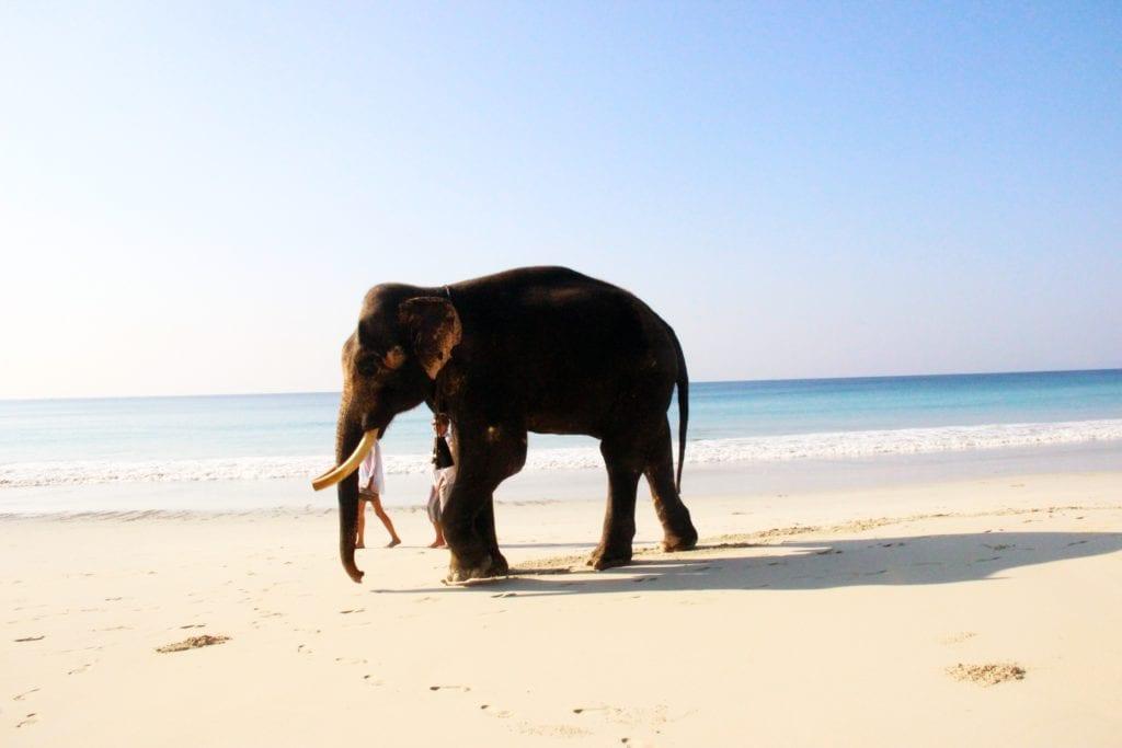 Radha Nagar Beach na wyspie Havelock, słoń na Andamanach