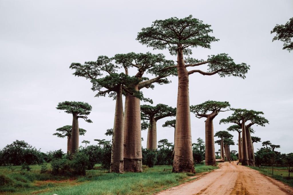Słynne baobady na Madagaskarze,