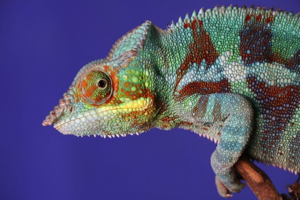 Na Madagaskarze możesz spotkać kameleony,