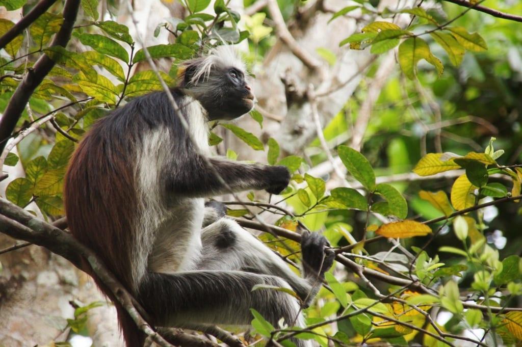 Gereza ruda żyje na Zanzibarze