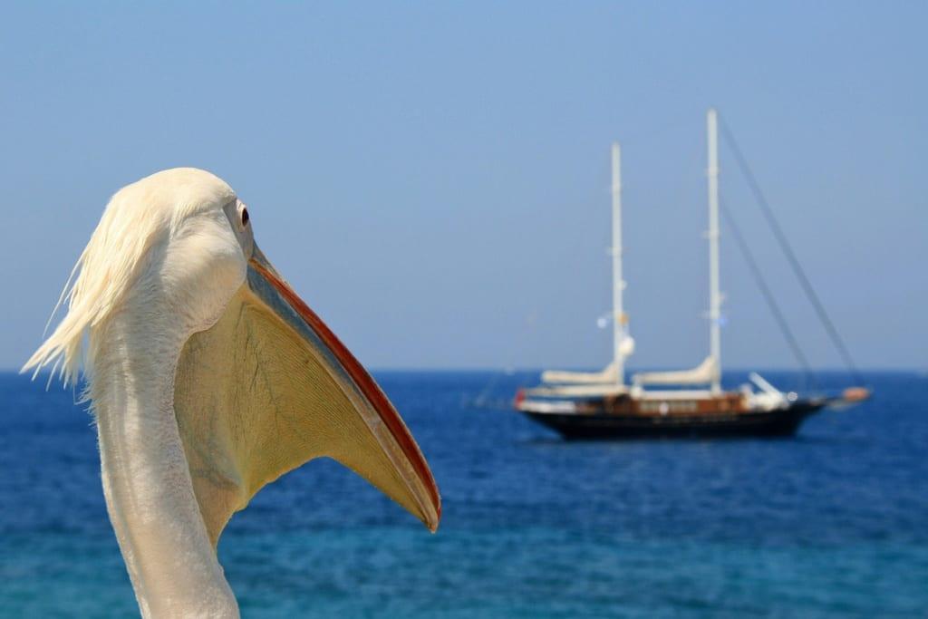 Pelikan jest maskotką wyspy Mykonos