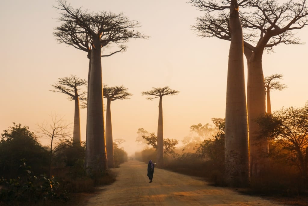 Z Madagaskaru do domów turystów podróżują nasiona baobabu,