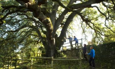 Tysiącletni dąb ostrolistny Lecina, Europejskie Drzewo Roku 2021, fot. treeoftheyear